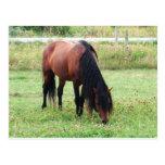 Potro de Connemara de la bahía, caballo, pastando Tarjeta Postal