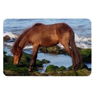 Potro de Dartmoor que come alga marina en Devon de Imán Rectangular