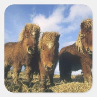 Potro de Shetland, Islas Shetland del continente, Pegatina Cuadrada
