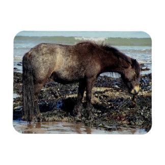 Potro del sur de Devon Dartmoor que goza comiendo  Iman Flexible