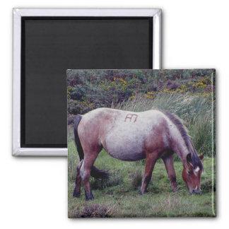Potro Grazeing Autunm temprano de Dartmoor Imán Cuadrado