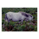 Potro gris del dartmoor grazeing en breacon impresiones