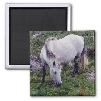 Potro gris Grazeing de Dartmoor en rocas Imán Para Frigorifico