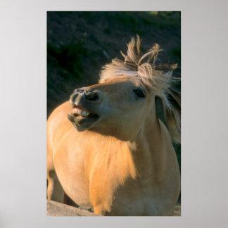 - potros, caballo noruego de fiordo muestra diente posters