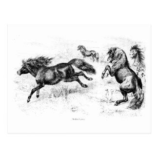 Potros de Shetland del vintage - caballo 1800's y  Tarjeta Postal