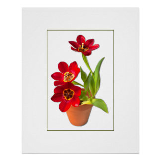 Potted Mature Red Tulips Photograph Poster