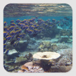 Powder Blue Surgeon Fish Square Sticker