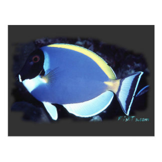 Powder Blue Tang Postcard