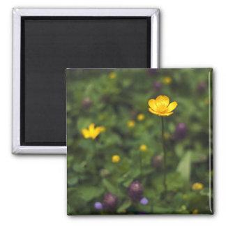 Prado de la flor salvaje del ranúnculo imán cuadrado