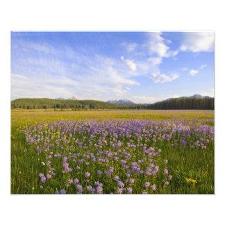 Prado de los wildflowers del penstemon en fotografías