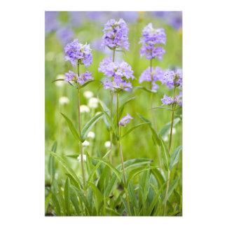 Prado de los wildflowers del penstemon en impresion fotografica