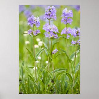 Prado de los wildflowers del penstemon en póster