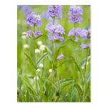 Prado de los wildflowers del penstemon en tarjeta postal