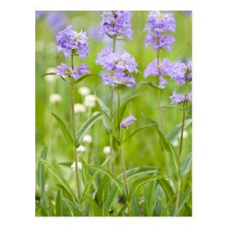 Prado de los wildflowers del penstemon en tarjetas postales