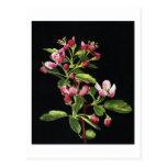 Prairie Crabapple Blossoms Postcard