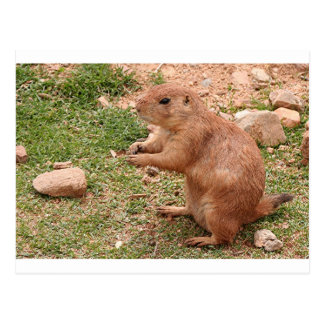 Prairie dog in zoo, Arizona, USA Postcard