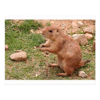Prairie dog in zoo, Arizona, USA Postcard