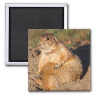 prairie dog 2 inch square magnet