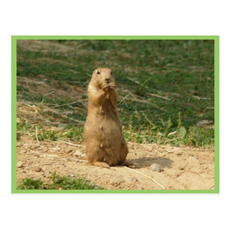 Prairie Dog Mom Stands Up To Take A Look At The Ki Postcard