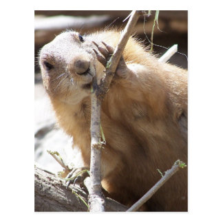 Prairie Dog Nibbling Postcard