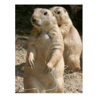 Prairie Dog Photo Postcard