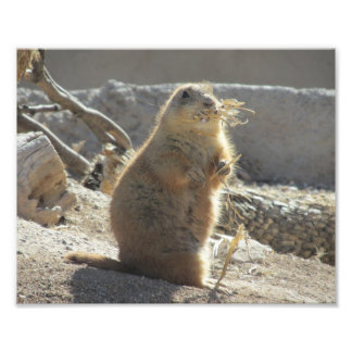 Prairie Dog Photo Print