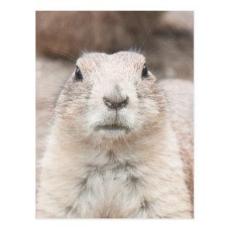 Prairie dog portrait postcard