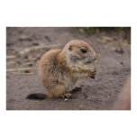 Prairie dog posters