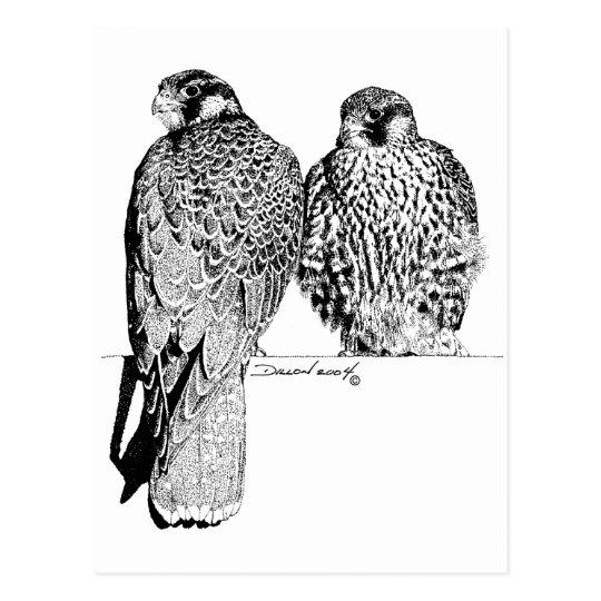 Prairie Falcons Postcard