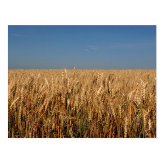 Prairie Gold Postcard