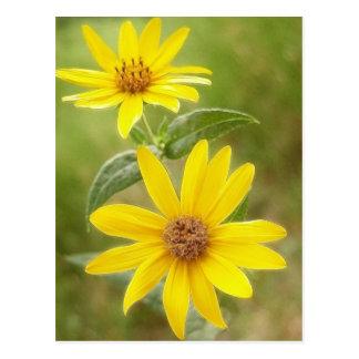 Prairie Sunflower - Helianthus maximilianii Postcards
