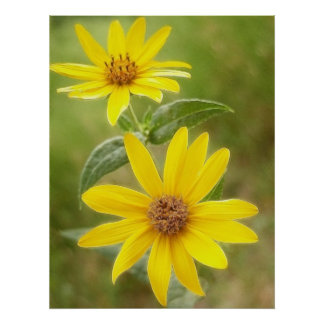 Prairie Sunflower - Helianthus maximilianii Poster