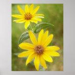 Prairie Sunflower - Helianthus maximilianii Print