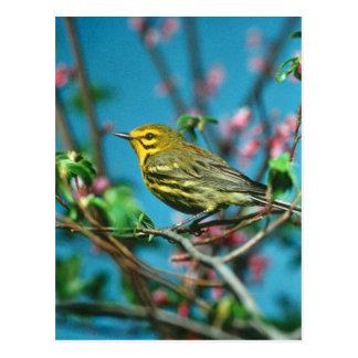 Prairie Warbler Postcard