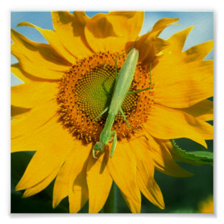 Praying Mantis in Sunflower Poster