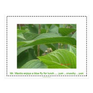 Praying Mantis Lunching .. Yumm .. Postcard
