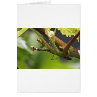 Praying Mantis on grape vine. Card
