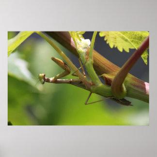 Praying Mantis on grape vines Poster