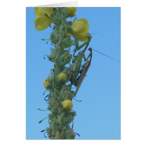 Praying Mantis Pair on Mullein Plant Card