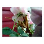 Praying Mantis Post Card