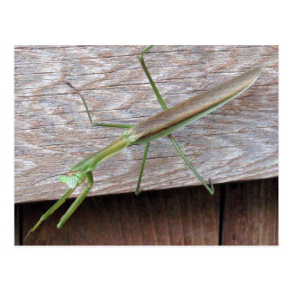 Praying Mantis Postcard