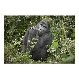 praying mountain gorilla :-) photo print