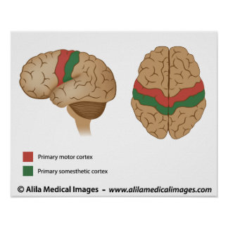 Precentral gyrus and postcentral gyrus poster