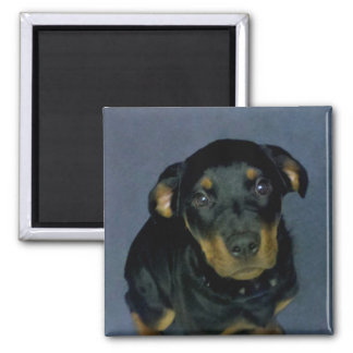 Precious Rottweiler Puppy Magnet
