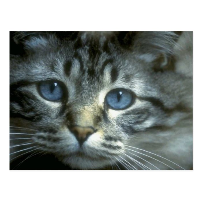 Precious Tabby Cat and Kitten Photo Cards, Gifts, Postcard
