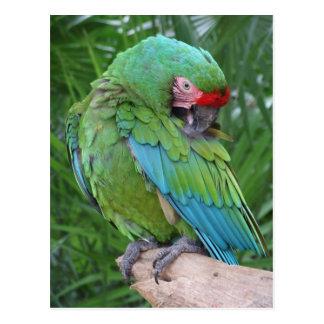 Preening Military Macaw Postcard