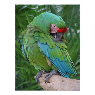Preening Military Macaw Poster
