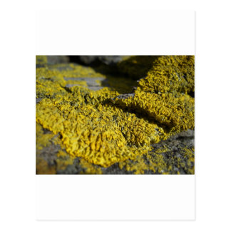Prehistoric yellow lichen on beach rock 1 postcard