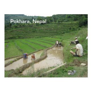 Preparación de los arroces de arroz para plantar tarjetas postales