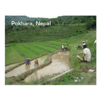 Preparing the Rice Paddies for Planting Postcards